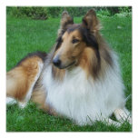 Collie in the Grass Poster