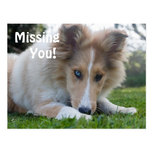 Collie puppy dog, cute custom Missing You postcard