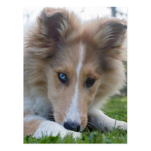 Collie puppy dog, cute rough collie dog face close post card