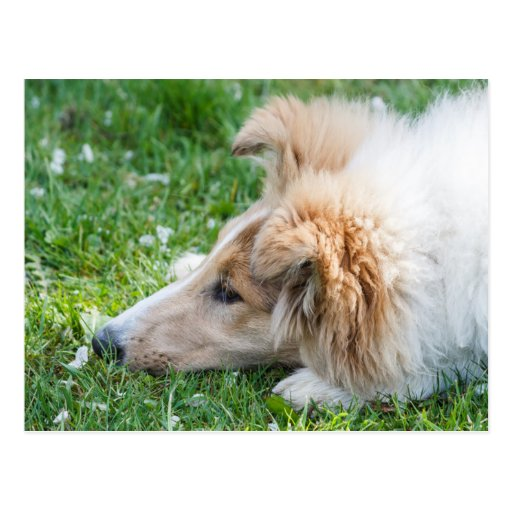 Collie puppy dog, cute rough collie dog face close postcards