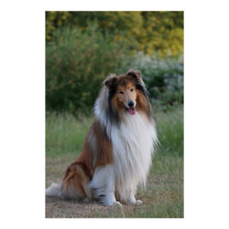 Collie rough dog beautiful photo poster, print
