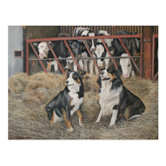 Collies and cows postcard