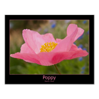Color Framed Pink Poppy Photograph Close-up Poster