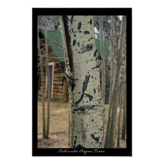 Colorado Aspen Trees Poster