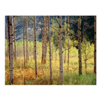Colorado, Autumn colors of aspen trees Postcard