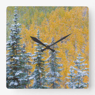 Colorado, Grand Mesa. Early snowfall on forest Square Wall Clock