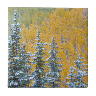 Colorado, Grand Mesa. Early snowfall on forest Tile
