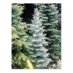 colorado pine postcard