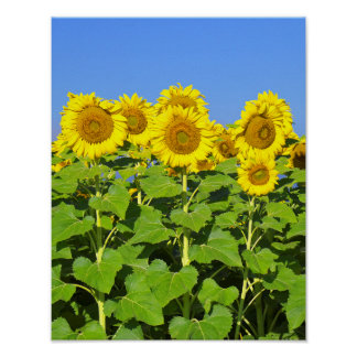 Colorado Sunflower Farm Poster