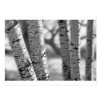 Colorado White Birch Trees in Black and White Postcard