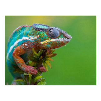 Colorful Chameleon Postcard
