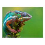 Colorful Chameleon Postcards