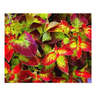 'Colorful Coleus' Photographic Print