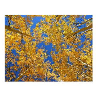 Colorful Colorado Aspens... Postcard