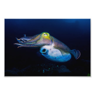 Colorful Cuttlefish Great Barrier Reef Coral Sea Photo Art