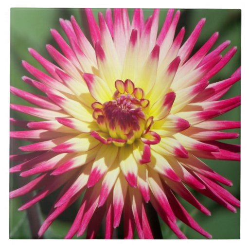Colorful Dahlia Floral Ceramic Tiles
