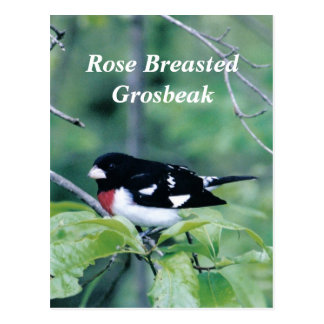 Colorful Dude, Rose Breasted Grosbeak Postcard