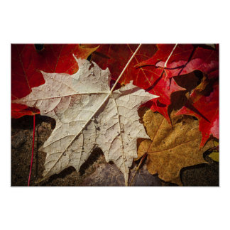 Colorful Fall Maple Leaves Floating Print