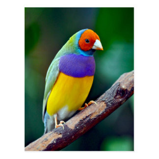Colorful gouldian finch postcard