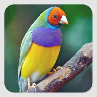 Colorful gouldian finch square sticker