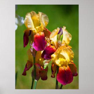 Colorful Iris Poster