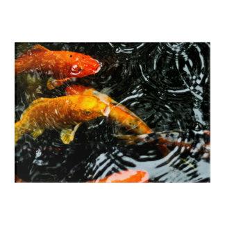 Colorful Koi Fish | Chengdu Acrylic Print