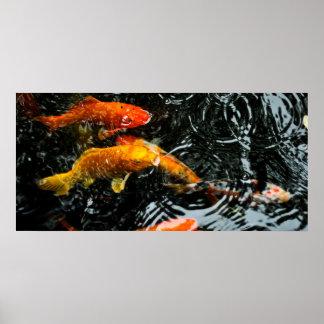 Colorful Koi Fish | Chengdu Poster
