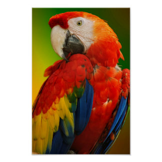 Colorful macaw poster