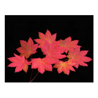 Colorful Maple Leaves... Postcard