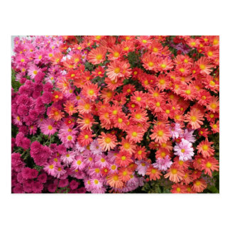 Colorful Mums Postcard