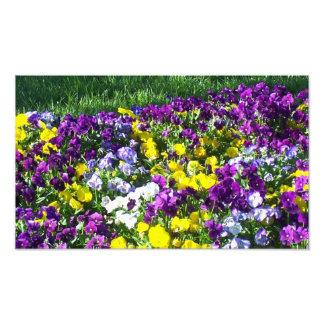 Colorful pansies photo art