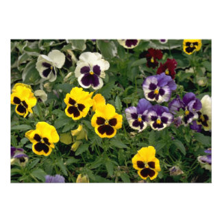 Colorful pansy flowers invites