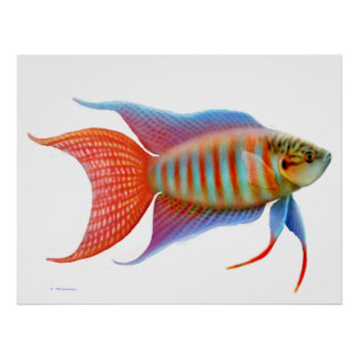 Colorful Paradise Gourami Fish Print