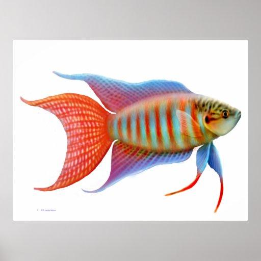 Colorful Paradise Gourami Fish Print