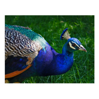 Colorful Peacock Postcards