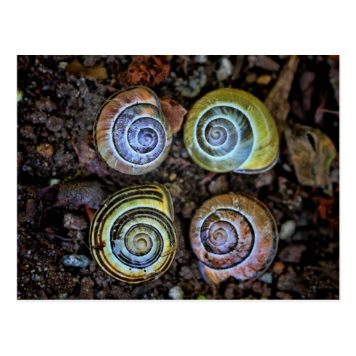 Colorful Snail Shells Picture Postcard