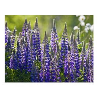 Colorful Spring Lupines... Postcard