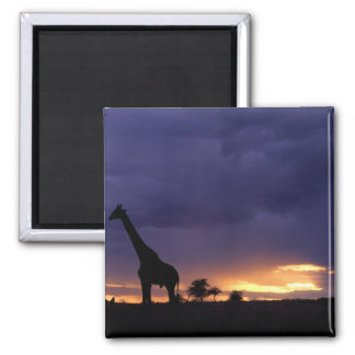 Colorful sunset late afternoon image of safari square magnet