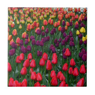 Colorful tulip flower garden small square tile