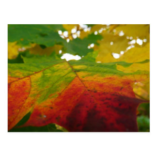 Colors of the Maple Leaf Autumn Nature Photography Postcard