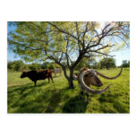 Colossol Texas Longhorn Cattle Postcards