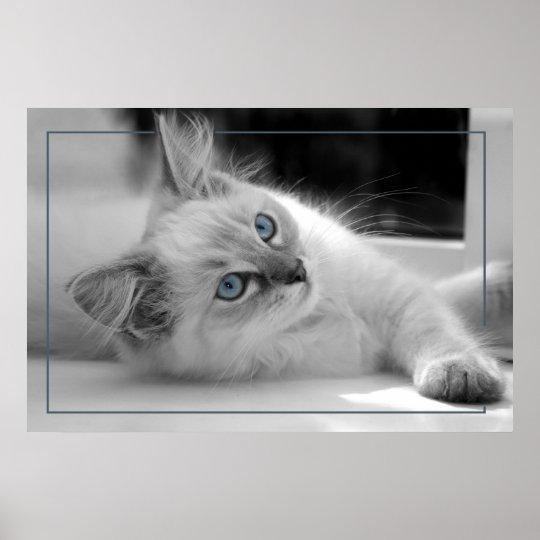 Coloured eyes, ragdoll kitten poster