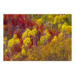 Colourful aspens in Logan Canyon Utah in the 2