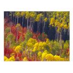 Colourful aspens in Logan Canyon Utah in the Post Card