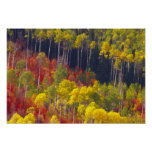 Colourful aspens in Logan Canyon Utah in the Poster