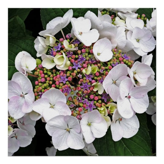Colourful Centre White Lacecap Hydrangea Poster