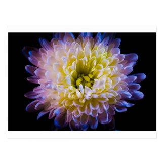 Colourful chrysanthemum postcard