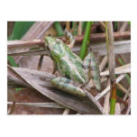 Colourful Cricket Frog