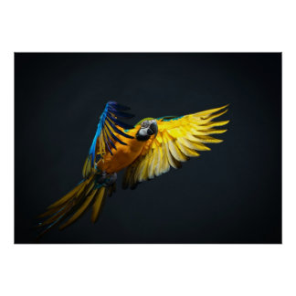 Colourful flying Ara on a dark background Poster
