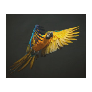 Colourful flying Ara on a dark background Wood Prints